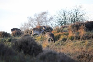 deer on Cannock chase