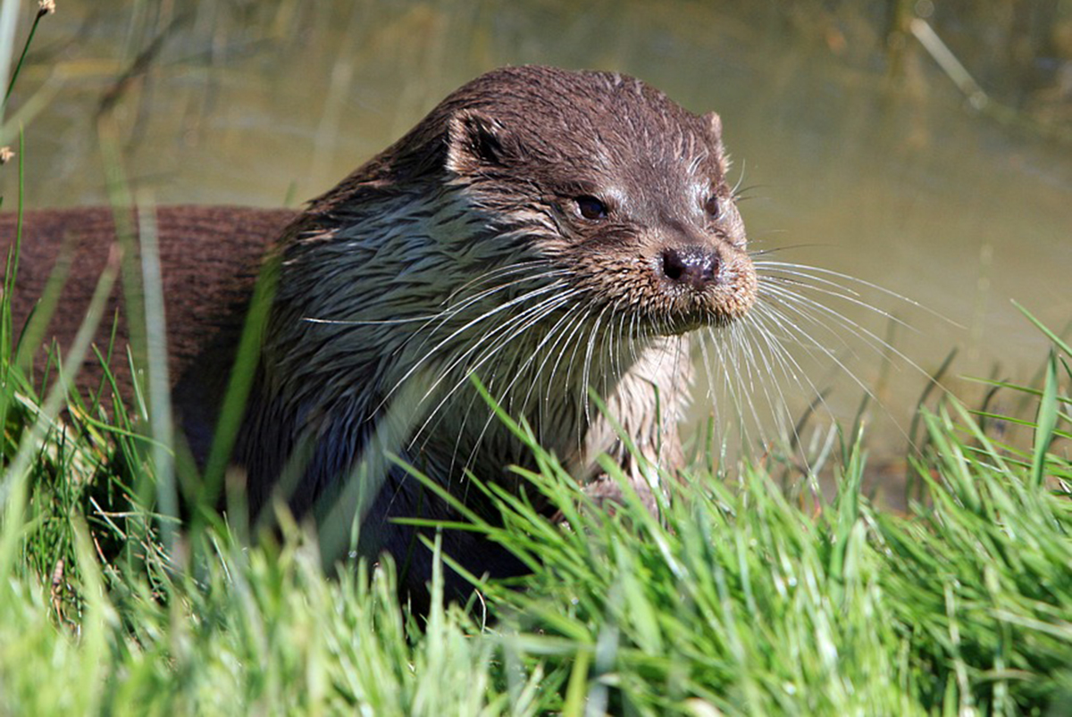 Where to spot Otters